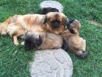 beautiful long-haired puppies Pekingese