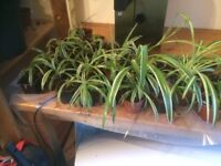 Baby Spider Plants Free To Good Home ,Very Healthy ,Home GrownCollection from NE16 Postcode