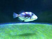 Picasso lagoon trigger niger Bleu red tooth marine tropical fish salt water aquarium