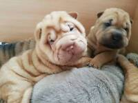 Shar pei puppies looking for firever home