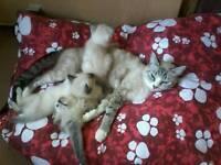 Birman x Ragdoll kittens