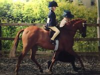 Project LR/FR pony by Beckside Little Toff
