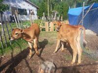 Jersey Steers for Sale
