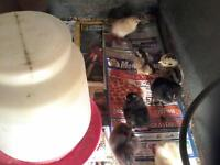 day old chicks for sale