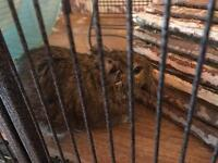 Adorable Degu duo, MINI and COOPER for sale inc cage