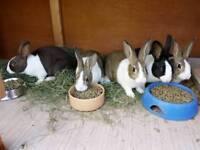 Dutch rabbit babies