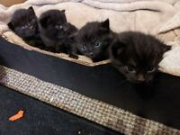 4 kittens ready 24th Oct