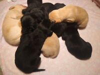 Very well health tested Labrador puppies