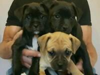 Jack russle x pug puppies