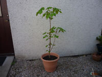 HORSE CHESTNUT TREE IN 15 INCH PLASTIC POT - VERY GOOD CONDITION