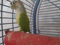 Green cheeked Conure parrot