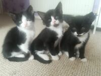8 weeks kittens for sale