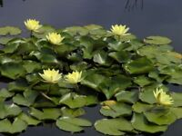 Various type of Water Lilies for SALE 20x20