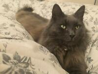 Missing lost grey longhair cat