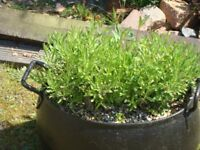 Assorted Black Painted Heavy Metal Pots with Plants