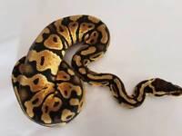 Stunning young male pastel Royal (ball) python / snake