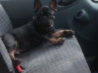 French bulldog Black and Tan cheap dog bargain good bloodlines