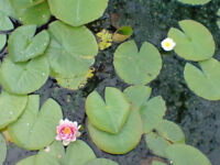 Garden pond water lily pants