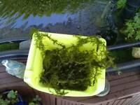 Oxygenating pond plant