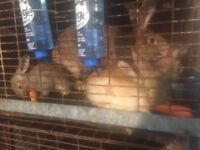 British Giant Rabbits For Sale