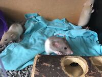3 baby boy rats for sale.