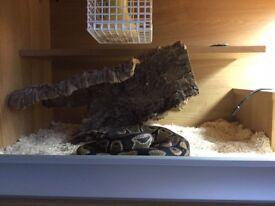 Royal Ball python and viv