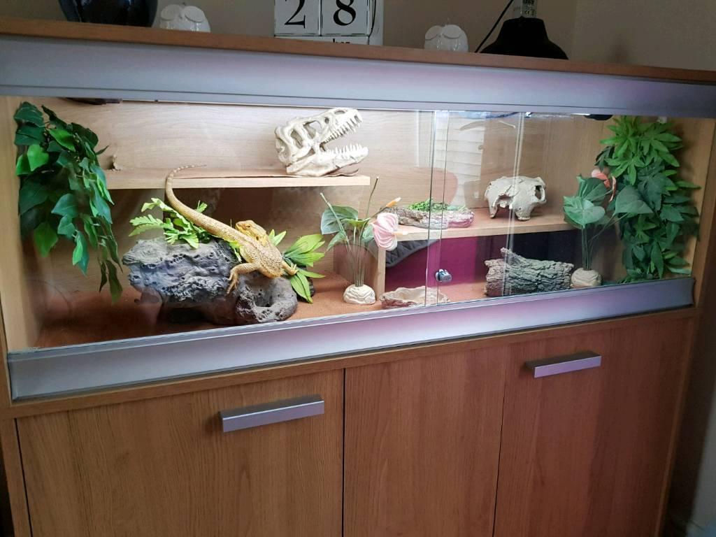 Bearded Dragon And Vivarium Complete Set Up In Camborne
