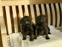 Black labradoodle puppies