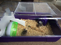 For sale Dwarf Hamsters with cage and etc.
