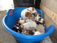 Gorgeous Well Marked Jack Russell Puppies
