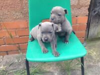Blue staffy puppies
