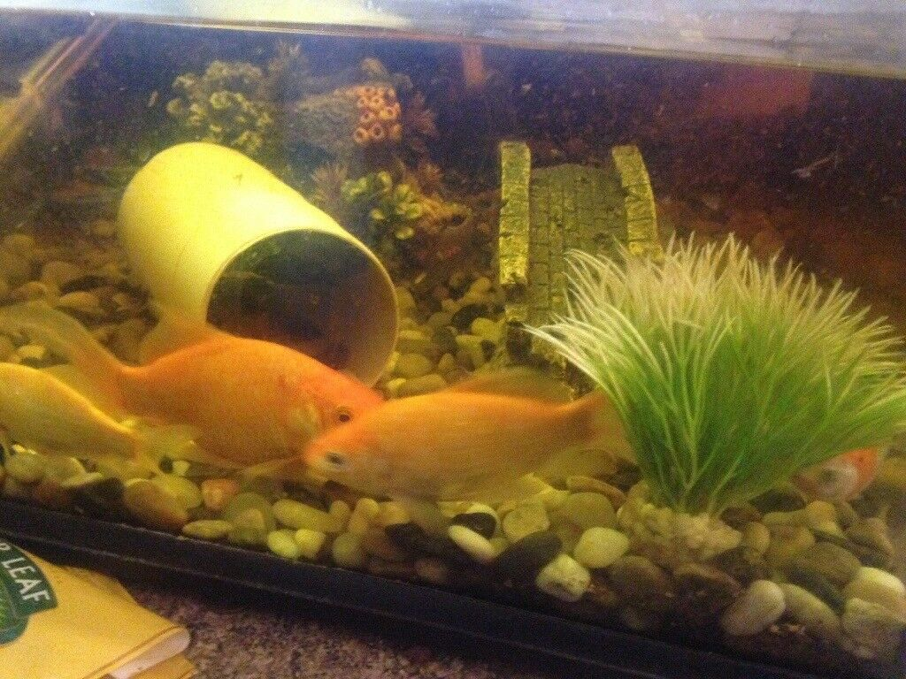 Large Fish Tank With Goldfish And A Pleco