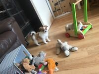 Beautiful Kc Registered chihuahua puppies *ready now*