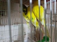 Budgie male healthy