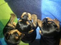2 lovely Yorkshire terrier puppies