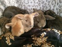 Gorgeous french lops