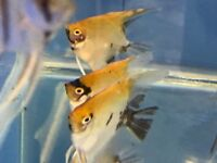 Tropical Fish For Sale ( see full list )