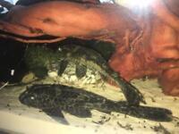 Free 6 inch common pleco fish
