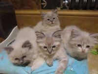 GCCF Registered Ragdoll Kittens READY NOW