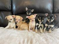 KC Reg Chihuahua Puppies 5 Generations Certificates, READY NOW
