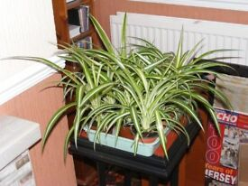 SPIDER PLANTS JOB LOT £3 EACH OR £15 FOR ALL 9 PLANTS.