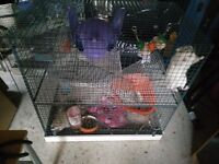 2 Rats for adoption with Cage, food and accesories