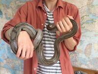 Beautiful friendly Ghost-striped Corn Snake needs re-homeing