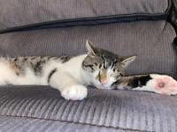 1 Year Old Tabby White Cat - Everything Included!!