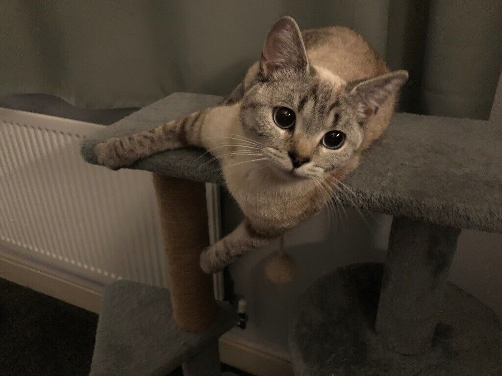 Beautiful 1 Year Old Ragdoll Bengal Cross Cat Kitten In Edmonton London Gumtree