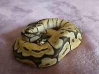 Cb17 Ball Pythons for sale.