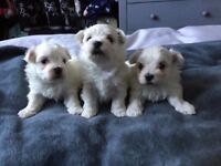Beautiful Maltese Girl Puppies For Sale