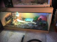 2 year old Bosc monitor including 6x3x3 ft viv including all accessories