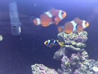 Pair of clown fish for sale