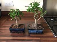 2 X Bonsai Trees